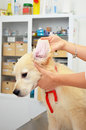Checking dogs ear golden retriever having his ears checked at the vets Royalty Free Stock Images