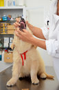 Checking dogs teeth golden retriever puppy having his checked by a veterinary physician Royalty Free Stock Photography