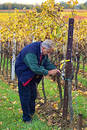 Checking the grapes Royalty Free Stock Images