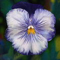 Cheeky Faced Blue Pansy - Digital Painting Stock Images