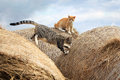 Cheerful cats playing on hay ginger and grey little Royalty Free Stock Image