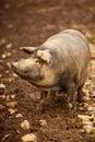 Cheerful pig Royalty Free Stock Photo