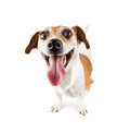 Cheerful Smiling Dog Royalty Free Stock Photo