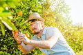 Cheerful young man harvests oranges and mandarins Royalty Free Stock Photo