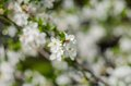 Cheery blossom flowers on spring day Stock Photos