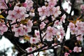 Cheery Blossoms Royalty Free Stock Photo