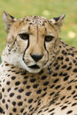 Cheeta Royalty Free Stock Photo