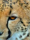 Cheeta closeup face wildlife Stock Photos