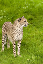 Cheeta staring cheetah standing in green grass and is Stock Photo