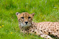 Cheetah Стоковые Фото