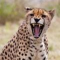 Cheetah 3 Royalty Free Stock Photo