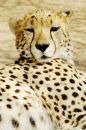Cheetah (Acinonux jubatus) cubs, South Africa Royalty Free Stock Photo