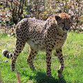 Cheetah (Acinonyx jubatus) Stock Photography