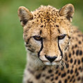Cheetah (Acinonyx jubatus) Royalty Free Stock Photography