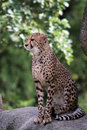 Cheetah - Acinonyx jubatus Stock Image