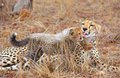 Cheetah (Acinonyx jubatus) cub Stock Photography