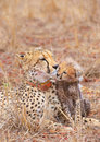 Cheetah (Acinonyx jubatus) cub Royalty Free Stock Photo