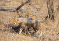Cheetah (Acinonyx jubatus) cubs Royalty Free Stock Images