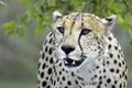 Cheetah acinonyx jubatus in kruger national park south africa Royalty Free Stock Photos