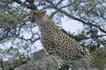 Cheetah acinonyx jubatus in kruger national park south africa Stock Image