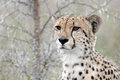 Cheetah acinonyx jubatus in kruger national park south africa Royalty Free Stock Image