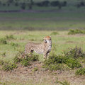 A cheetah acinonyx jubatus on the masai mara national reserve safari in southwestern kenya Stock Image