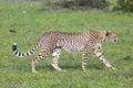 A cheetah acinonyx jubatus on the masai mara national reserve safari in southwestern kenya Royalty Free Stock Photo