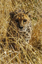 Cheetah (Acinonyx jubatus) in the savanna Stock Images