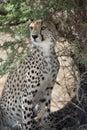 Cheetah, Acinonyx jubatus, in Serengeti National Royalty Free Stock Photo