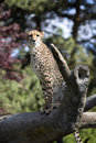 Cheetah, Acinonyx jubatus, stands in the trunk Royalty Free Stock Photo