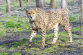 Cheetah acinonyx jubatus is walking in a forest enclosure Stock Photo
