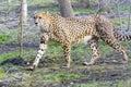 Cheetah acinonyx jubatus is walking in a forest enclosure Stock Photo