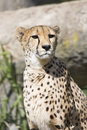 Cheetah acinonyx jubatus watching nearby the Royalty Free Stock Image