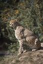 Cheetah, Acinonyx jubatus, watching nearby Royalty Free Stock Photo