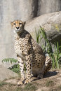 Cheetah, Acinonyx jubatus, watching nearby Royalty Free Stock Photo