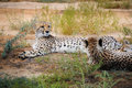 Cheetah in african bush resting Stock Photos