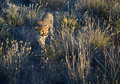 Cheetah in African savanna Royalty Free Stock Photo