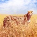 Cheetah in the African savannah. Africa, Tanzania, Serengeti National Park. Wild life of Africa. Square image Royalty Free Stock Photo