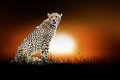 Cheetah on the background of sunset Royalty Free Stock Photo