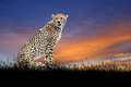 Cheetah on the background of sunset sky Royalty Free Stock Photo
