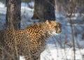 Cheetah big hunting Royalty Free Stock Photo
