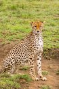 Cheetah with black tear line, fastest land animal with spotty markings at Serengeti National Park in Tanzania, Africa Royalty Free Stock Photo
