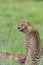 Cheetah with blood on face Stock Photo