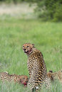 Cheetah with blood on face Royalty Free Stock Photos