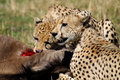 Cheetah brothers eating wildebeest kill, Kenya Royalty Free Stock Photo