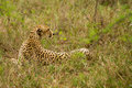 Cheetah in the Bush in South Africa Royalty Free Stock Photos