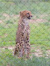 Cheetah in captivity behind a fence namibia Royalty Free Stock Photos