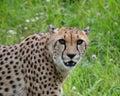 Cheetah cheetahs animals wildlife Stock Photo