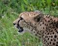 Cheetah cheetahs animals wildlife Royalty Free Stock Images