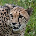 Cheetah cheetahs animals wildlife Stock Photography